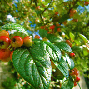 Crab Apples by Che Dean - Nature Up Close Trees & Bushes ( tree, garden, produce, crab apples )