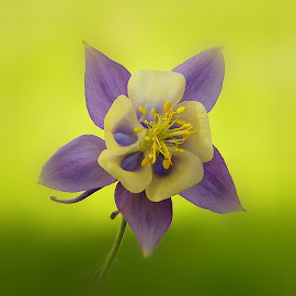 Columbine........ by Silvia Sandrock - Flowers Single Flower ( macro photography, columbine, flowers, flower photography )