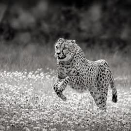 Cheetah by Jane Bjerkli - Black & White Animals ( expression, cheetah, summer, run, running )