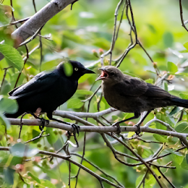 Brewers Blackbird and young by Keith Sutherland - Uncategorized All Uncategorized ( brewers blackbird, feeding )