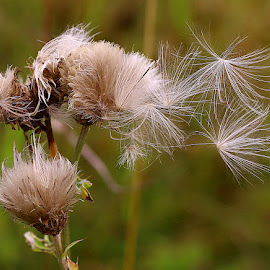 Blowing in the Breeze by Chrissie Barrow - Nature Up Close Other plants ( plant, wind, wild, breeze, thistle, green, brown, seeds, down, bokeh, cream, seedhead )