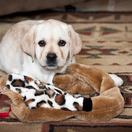 Hello by Howie George - Animals - Dogs Puppies ( labrador retriever, toy, inside, carpet, brown, puppy, yellow, dog )