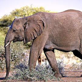 African Elephant by Pieter J de Villiers - Animals Other