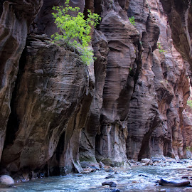 Narrows Greenery by Mike Moody - Landscapes Caves & Formations ( the narrows, towering walls, the virgin river, zion national park, green plant,  )