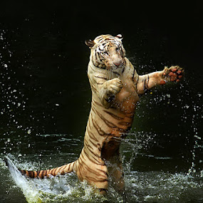 Standing by Jeffry Surianto - Animals Lions, Tigers & Big Cats