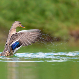 mallard drops by Riccardo Trevisani - Animals Birds ( trevisani, mallard, riccardo, duck, wildlife )
