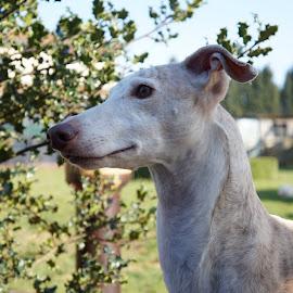 Galgo by Kim Mesorten - Animals - Dogs Portraits ( spanish, shorthair, garden, dog, dog portrait )