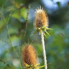 by Kathy Kehl - Flowers Flowers in the Wild ( wildflowers, wildflower, flowers, buds, bud, flower )