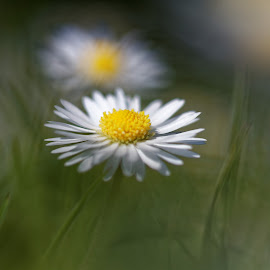 by Emma Bell - Digital Art Things ( wild, macro, daisy, flower )