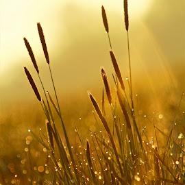 Ráno na louce by Jarka Hk - Nature Up Close Leaves & Grasses ( grasses, colors, morning, bokeh, light )