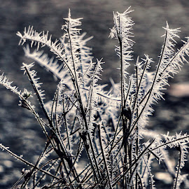 Hoarfrost  by Todd Reynolds - Nature Up Close Leaves & Grasses