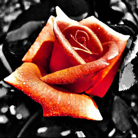 the color of love by Saurav Bhattacharyya - Nature Up Close Flowers - 2011-2013 ( rose, flower )