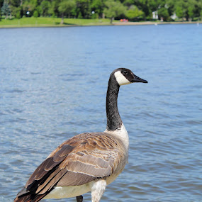 Goose Gaze by Adria Martin - Animals Birds