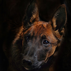 Mesa - Malinois Puppy by Twin Wranglers Baker - Animals - Dogs Puppies ( malinois puppy, pup, puppy, dog, malinois )