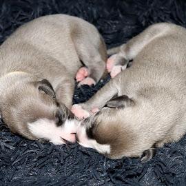 Whippet puppies by Marius Birkeland - Animals - Dogs Puppies ( pups, puppies, dogs, dog, whippet )
