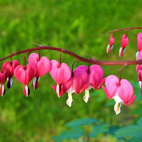 Bleeding Hearts by Carol Leynard - Flowers Flower Gardens ( flowers, pink, multiple, bleeding hearts, stem,  )