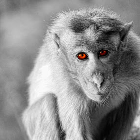 Burning eyes by Krishna Kumar - Animals Other Mammals ( stare, art, monkey, eyes, animal )