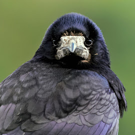 Nosey crow outside my window by Stephen Crawford - Animals Birds ( starting, crow, feathers, nosey, close up,  )