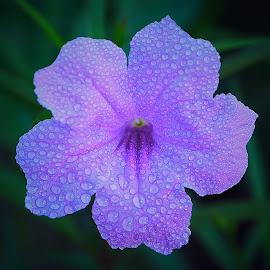 by Iwan Ramawan - Flowers Single Flower