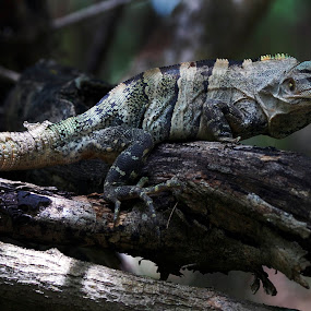 Iguana by Cristobal Garciaferro Rubio - Animals Other ( cancun, mexico, iguana, branch, leaf, leaves, branches )