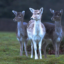 KNOLE PARK by Gjunior Photographer - Animals Other ( animals, nature, landscapes, deer )