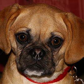Bonnie by Chrissie Barrow - Animals - Dogs Portraits ( smooth, pup, pug, portrait, eyes, female, pet, puggle, ears, fur, puppy, beagle, dog, crossbreed, nose )