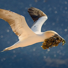 The Builder by Jiri Cetkovsky - Animals Birds ( bird, morus, bassanus, fly, helgoland )
