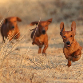 by Andrew Keys - Animals - Dogs Running