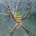 Oval St. Andrew's Cross Spider