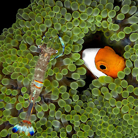 Hidden by Henry Jager - Animals Sea Creatures ( jager, pisces, water, orange, species, green, fish, sea, wildlife, amphiprion ocellaris, ocean, travel, encounter, relationship, symbiosis, macro, nature, henry, clownfish, closeup, false clown anemonefish, journalist, animal )