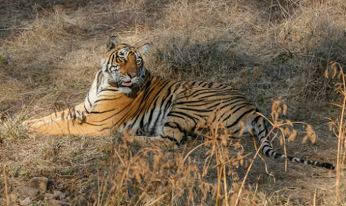 Royal Bengal Tiger by Avtar Singh - Novices Only Wildlife ( tiger, open grassland )