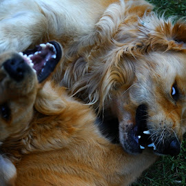 by Alain Labbe Alain - Animals - Dogs Playing