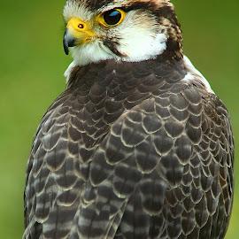 Toi, je te vois ! by Gérard CHATENET - Animals Birds