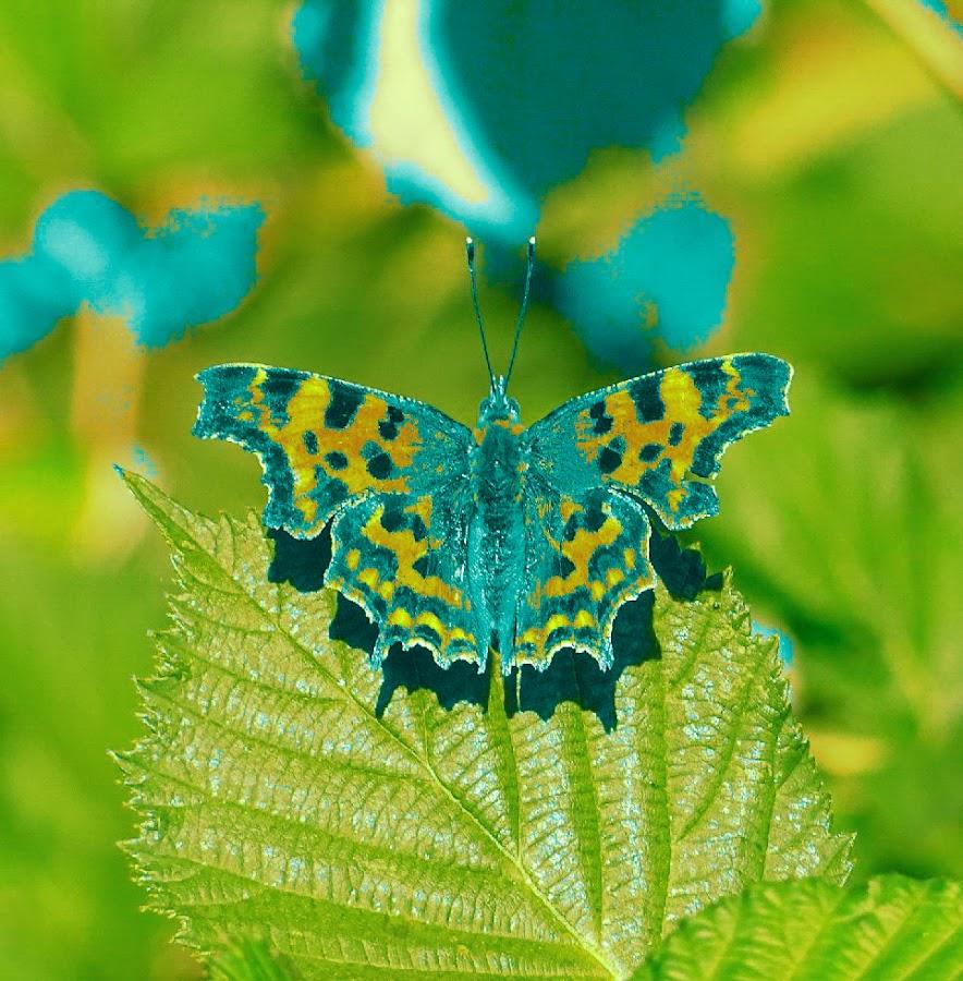 Comma butterfly  by Arif Burhan - Illustration Animals ( butterfly, bramble )