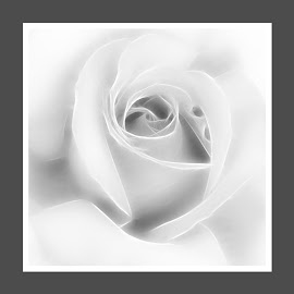 Monochrome fractal rose by Samantha Delargy - Digital Art Things ( rose, monochrome, fractal, flower, petal,  )