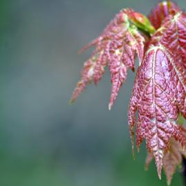 Maple by Jaliya Rasaputra - Nature Up Close Leaves & Grasses