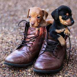Baby shoes by Susan Pretorius - Animals - Dogs Puppies