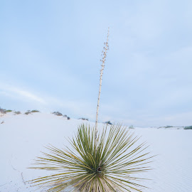 Soaptree Yucca by Brianne Toma - Nature Up Close Other plants ( single, chihuahua, perennial, plant, white sands, desert, new mexico )