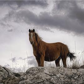 Wild Horse  by Boris Romac - Animals Horses ( wild, d750, horse, croatia, coguar, nikon )