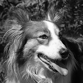 Grey Ruby by Chrissie Barrow - Black & White Animals ( monochrome, tongue, black and white, sheltie cross, pet, ears, grey, dog, mono, nose, portrait, eye, animal )