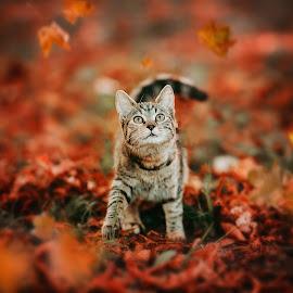 fall by Krisztina Ajtai - Animals - Cats Portraits ( kitten, leaves, cat, autumn, cute,  )