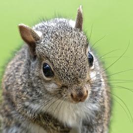 Squirrel 9513 by Raphael RaCcoon - Animals Other Mammals