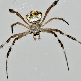 A spider. by Govindarajan Raghavan - Animals Insects & Spiders (  )