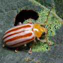 Caustic Leaf Beetle