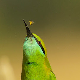 Deadly toss! by Rajesh Kemkar - Animals Birds ( bird, nature, bee, green bee-eater, wildlife, beeeater, toss, birds,  )