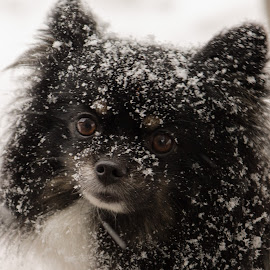 Snow covered Domino by Glenda Clausen - Animals - Dogs Portraits ( snow, white, cute, tan, black, pomeranian )