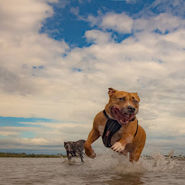 by James Collis - Animals - Dogs Playing