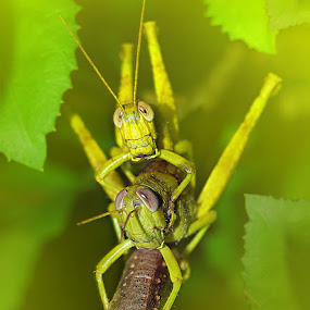 UNCENSORED by Hajar Wisnu Dwiputra - Animals Other ( blackboy, macro, grasshopper )