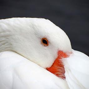 sleepy goose by Craig Skinner - Uncategorized All Uncategorized (  )