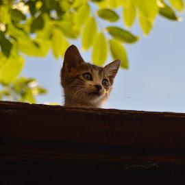 Little Tiger by Sonja VN - Animals - Cats Kittens ( roof, cat, kitten, head, small, kitty,  )
